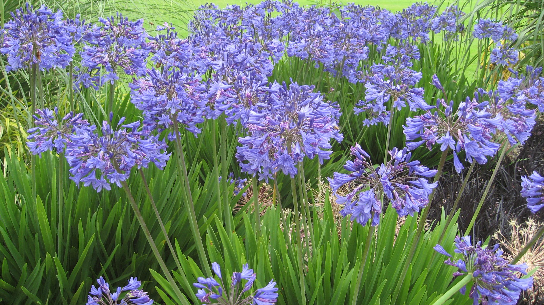 162 Фото цветка агапантус